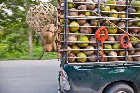 macaque: Macaque de noix de coco Asseyez-vous dans le camion sur la route.