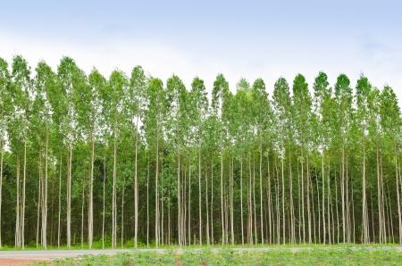 タイでは、ユーカリの森プラッツ製紙業用