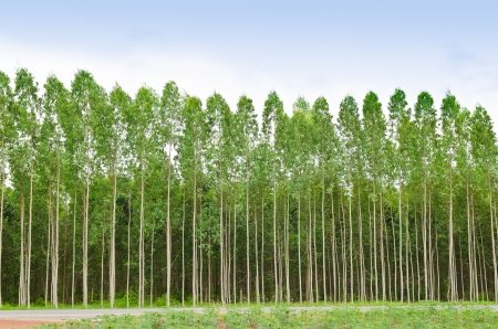 Eucalyptus forest in Thailand, plats for paper industry Stockfoto