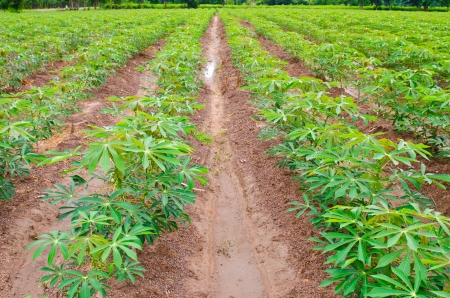 Cassava or manioc plant field in Thailand Stock Photo