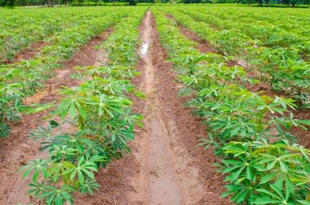 Cassava or manioc plant field in Thailand Stockfoto