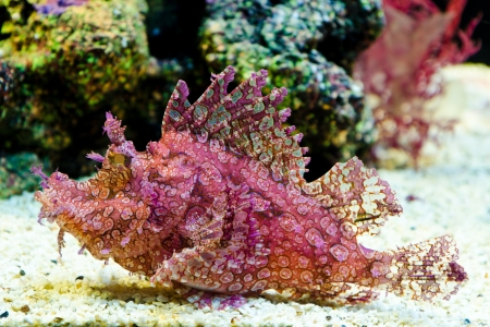 Weedy Scorpionfish (Rhinopias frondosa), animal life in the underwater photo