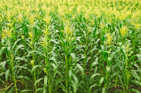 A green field of corn growing up at Thailand