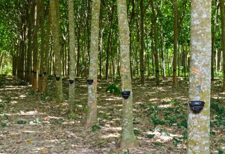 tapping: Toccando lattice da un albero della gomma in Thailandia
