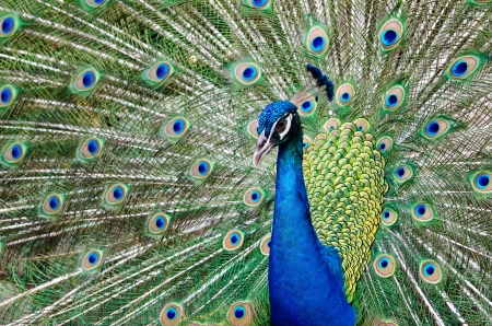 Close up of a male peacock displaying its stunning tail feathers photo