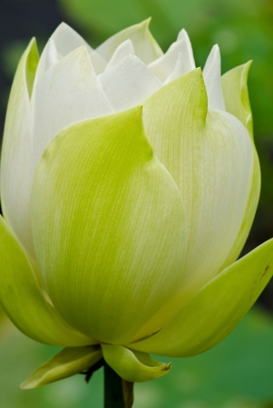nelumbinis: The white lotus flower nature blossom in the peaceful pond at Thailand