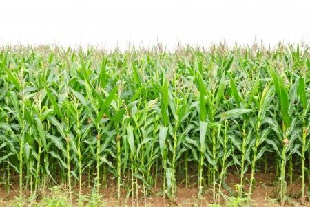planta de maiz: Un campo de maíz verde que crece en Tailandia