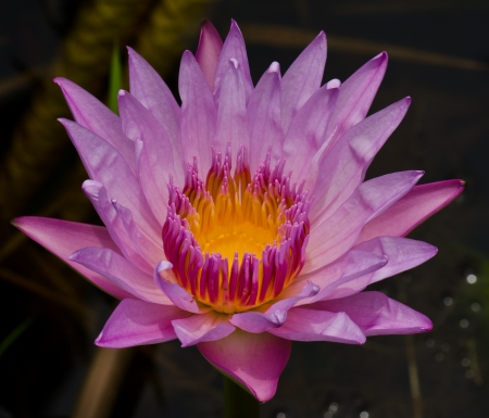 nelumbinis: The pink lotus flower nature blossom in the peaceful pond at Thailand