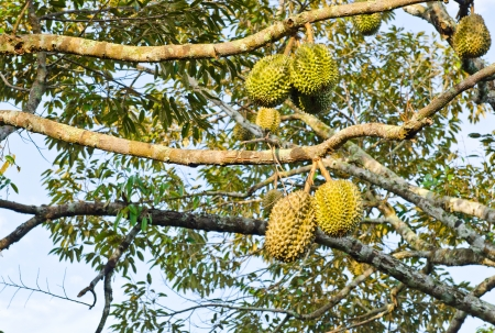 Fresh durians, the king of fruit on the tree at Thailand photo