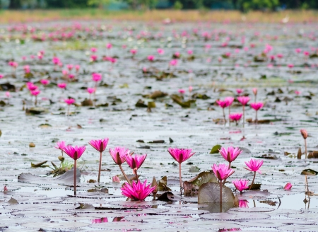 pink lotus blossom or water lily flower blooming on pond photo