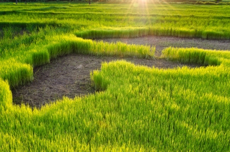 nature view of young rice sprout  ready to growing in the rice field at sunset time, Thailand photo