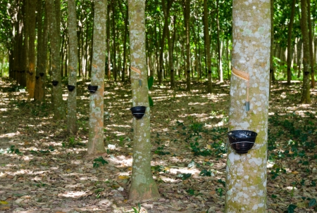Tapping latex from a rubber tree at Thailand photo