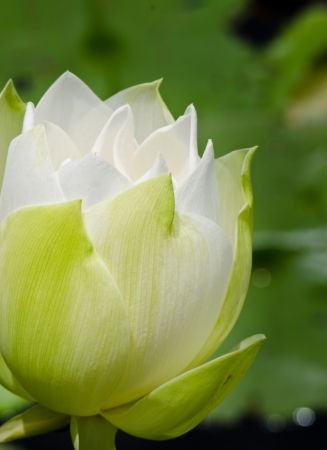 The white lotus flower nature blossom in the peaceful pond at Thailand photo