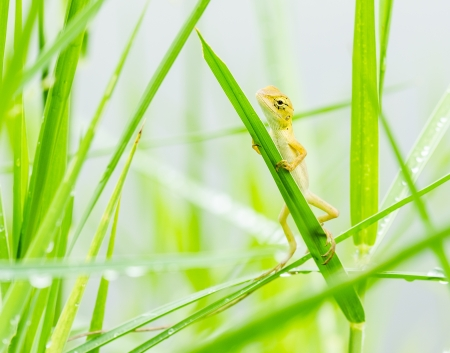 lizard hiding on fresh leaves  green grass in the nature at Thailand