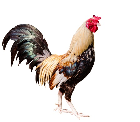 bantam hen: photos of rooster Chicken isolated on white background Stock Photo