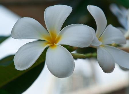 Leelawadee flower, beautiful white flower in thailand Stock Photo - 16530911