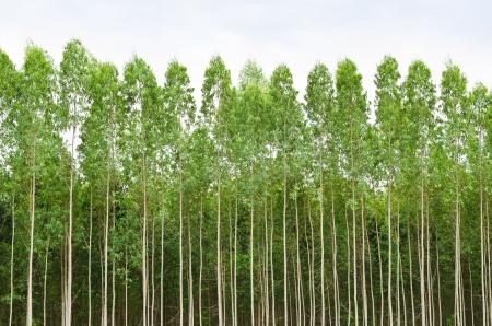 Eucalyptus bosque en Tailandia, plats para la industria papelera Foto de archivo - 17234450