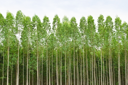 convergence: Eucalyptus forest in Thailand, plats for paper industry Stock Photo