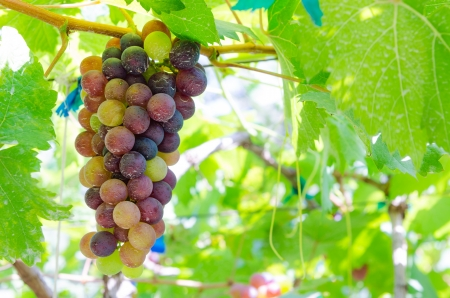 concord grape: Purple Grapes Clustered on the Vine on tree Stock Photo