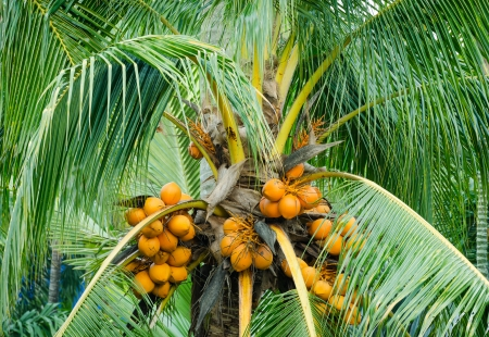 close up of orange color fresh coconut fruit on tree  in garden at Thailand photo