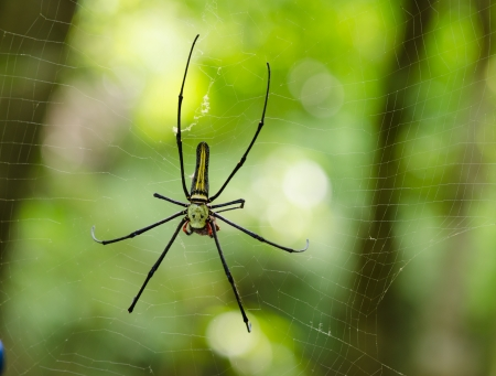 wood spider: The Giant wood spider (Nephila maculata, nephila pilipes), AKA the Golden Orb Weaver or Banana Spider, is one of the largest spiders in the world & is known for its striking black & yellow coloring.