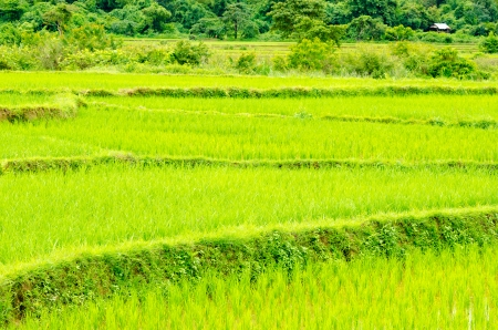 View of Young rice sprout ready to growing in the rice field at Thailand photo