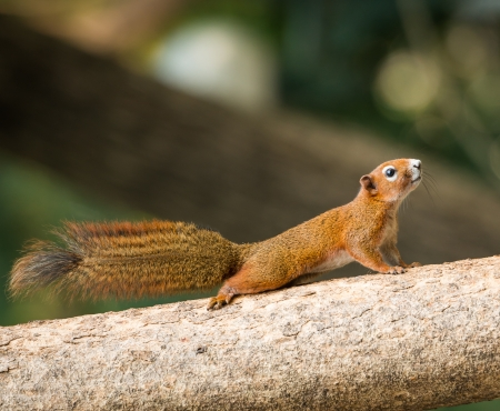 close up squirrel or small gong, Small mammals native to the tropical forests at Thailand, Variable squirrel, Pallas