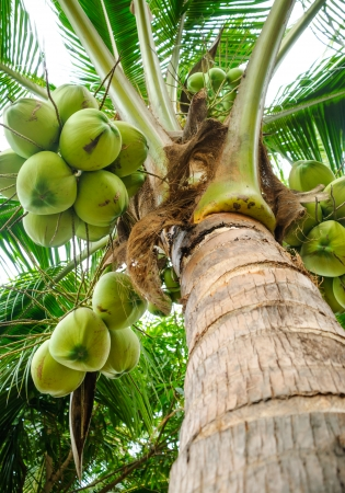 close up of fresh coconut tree in garden, Thailand photo