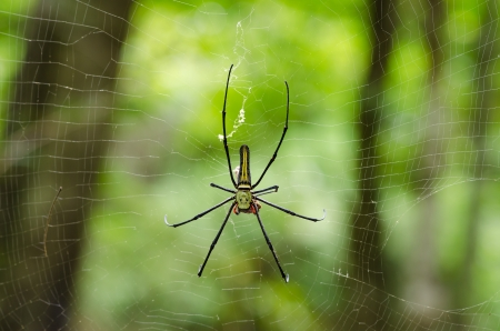 golden orb weaver: The Giant wood spider  Nephila maculata nephila pilipes , AKA the Golden Orb Weaver or Banana Spider, is one of the largest spiders in the world   is known for it s striking black   yellow coloring