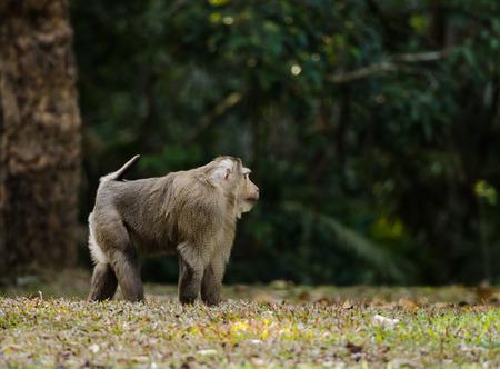 ngamba: Mono en el parque nacional Kao Yai, Tailandia. Macaco rab�n, Bear mono macaco.