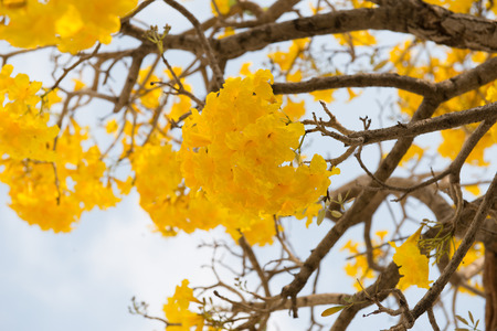 paraguayan: close up Silver trumpet tree, Tree of gold,Paraguayan silver trumpet tre