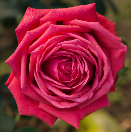 close up beautiful red rose in a garden photo