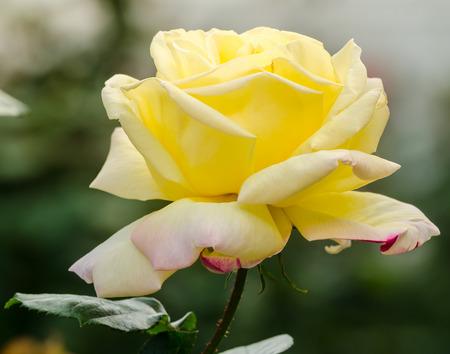 rosas amarillas: close up hermosa rosa amarilla en un jardín Foto de archivo