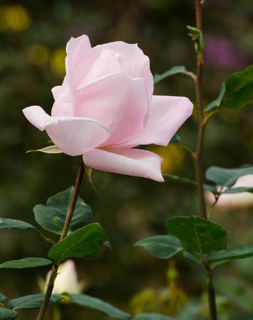 close up beautiful light pink rose in a garden photo