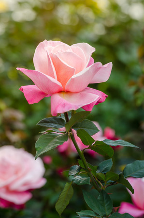 close up beautiful pink rose in a garden photo