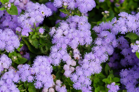 lance shaped: Floss flower Awesome leilani blue or ageratum blue bouque in green background, Alchemilla epipsila