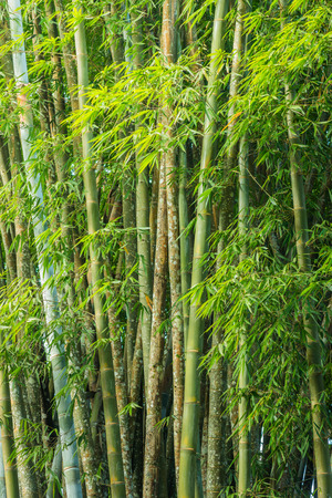 Close up big fresh bamboo grove in green color at Thailand forest photo