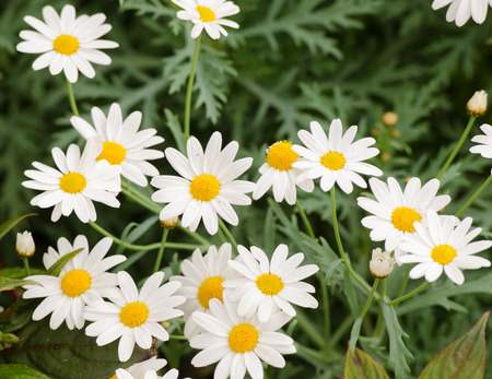 close up the dainty white flowers of fringed single cosmos genus asteraceae flowering in a spring garden.