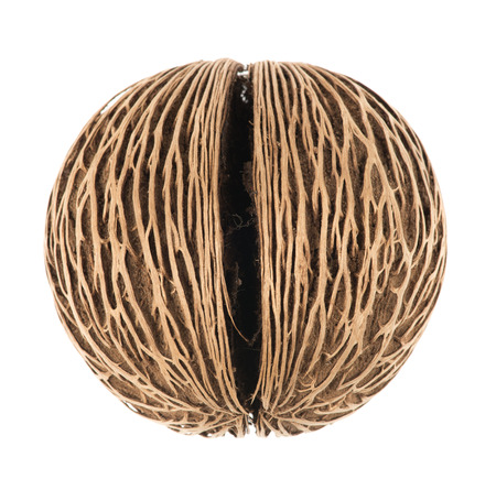 pong: Cerbera oddloams seed, Pong pong seed or Othalanga - Suicide tree seed on white background