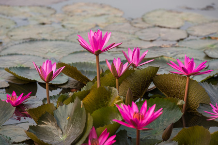 nymphaeaceae: close up pink color fresh lotus blossom or water lily flower blooming on pond background, Nymphaeaceae