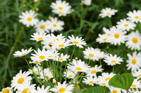 close up the dainty white flowers of fringed single cosmos genus asteraceae flowering in a spring garden. photo