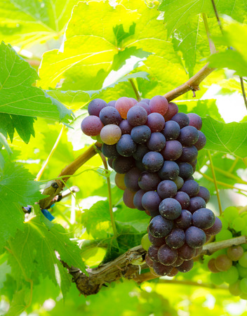 clustered: Purple Grapes Clustered on the Vine