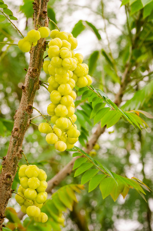 Star gooseberry on tree, There are many types of lucky tree in Thailand and Thai people believe that a Mayom tree  planted in front of the house will bring fame and success for owner, Phyllanthus acidus. photo