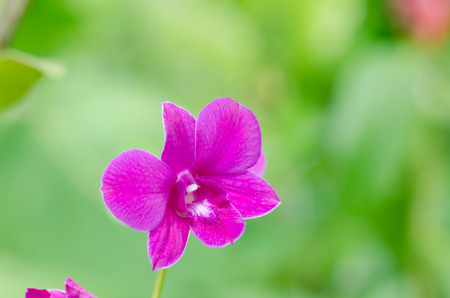 orchidaceae: close up of orchid flower on nature green background in forest at Thailand, Orchidaceae, Apostasia, Neuwiedia