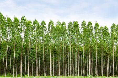 wood grass: Eucalyptus forest in Thailand, plats for paper industry Stock Photo