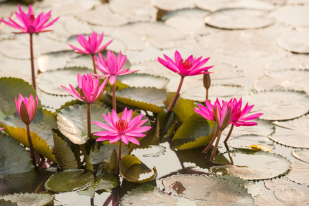 close up pink color fresh lotus blossom or water lily flower blooming on pond background photo