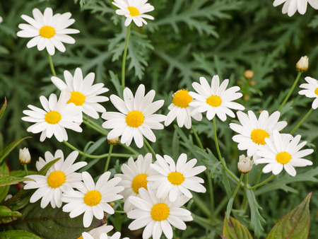 ox eye: close up the dainty white flowers of fringed single cosmos genus asteraceae flowering in a spring garden.