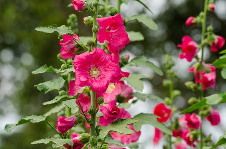 gung: red mallow flowers blooming in summer season at the garden background, Mu Gung Hwa (mugunghwa) or Rose of Sharon. Stock Photo