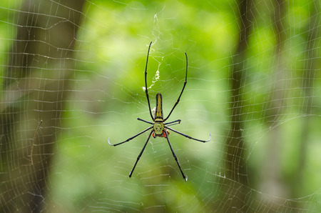 wood spider: The Giant wood spider (Nephila maculata, nephila pilipes), AKA the Golden Orb Weaver or Banana Spider Stock Photo