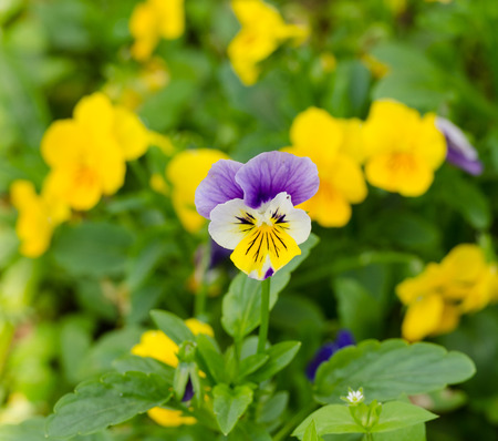flamy: pensies flowers as the floral background, viola tricolor pansy